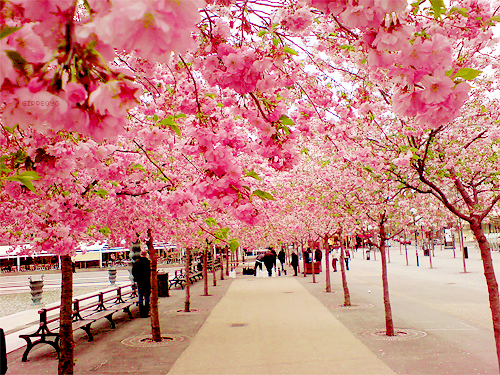 Cherry-Blossom-Walk-Sakura-Japan